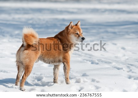 dirty shiba inu dog on snow