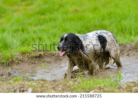 Dirty Spaniel wallowing in a mud hole - stock photo