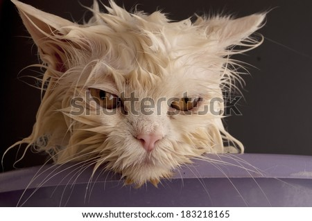 Dirty wet cat  - stock photo