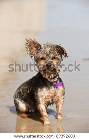 Dirty wet puppy playing at the beach - stock photo