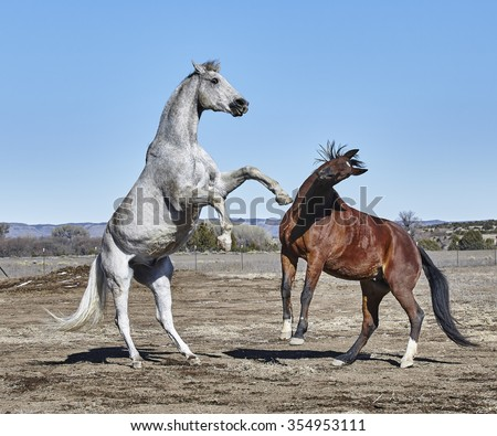 Dirty white horse rearing at bay colored horse who has front feet off the ground and head twisted to avoid the rearing horse - stock photo