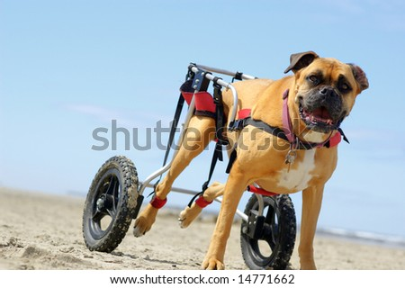 Disabled canine