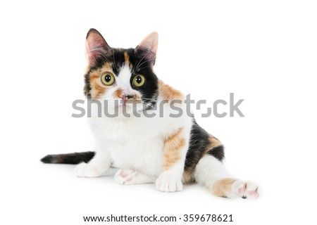 Disabled (paralyzed) tricolor cat, looking at camera, isolated on white - stock photo