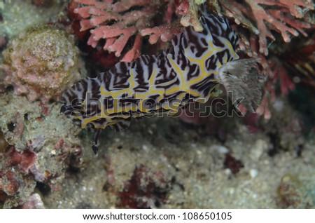Discodorididae-Willey's Halgerda - stock photo