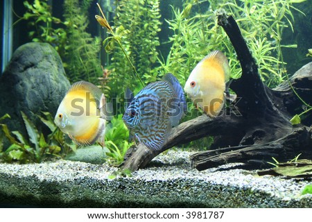 Discus Aquarium Fish - stock photo