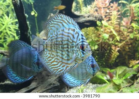 Discus Aquarium Fish - stock photo