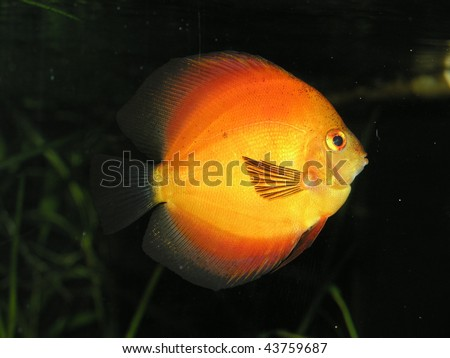 Discus bred in Pigeon blood color - stock photo