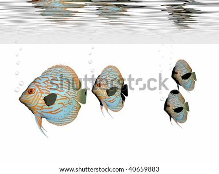DISCUS FISH - A group of discus fish swim together in an aquarium. - stock photo