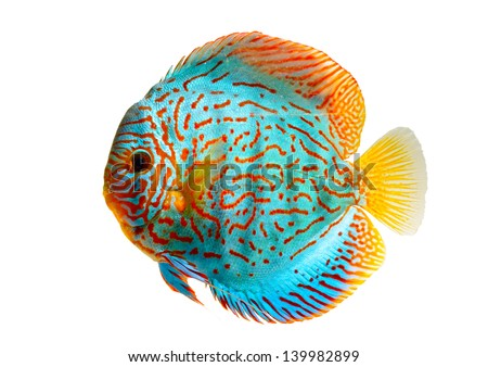 Discus Fish Isolated on white Background - stock photo
