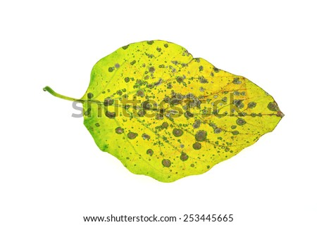 Diseased ivy leaf isolated on white - stock photo