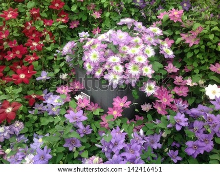 Display of assorted clematis - stock photo