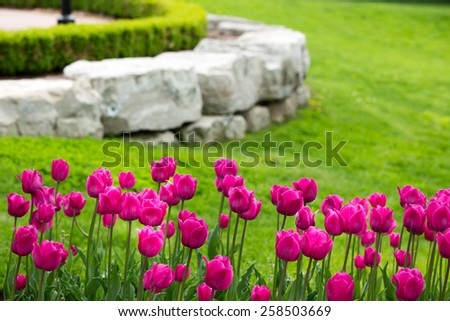 Display of colorful magenta tulips flowering in a flowerbed in a lush green garden with a natural rock retaining wall heralding the start of spring - stock photo