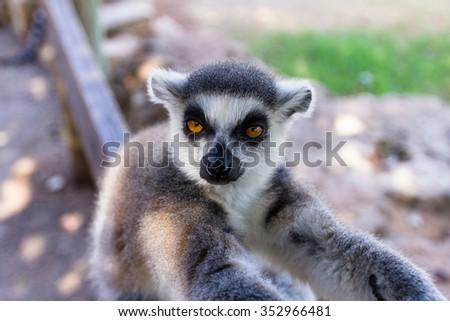 Dissatisfied lemur, Ring-tailed Lemur (Lemur catta) - stock photo