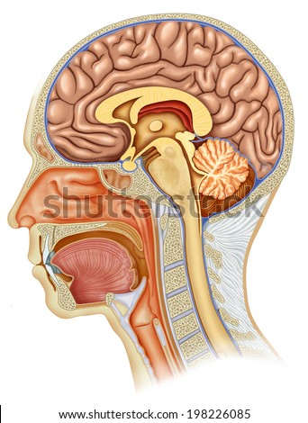 Dissection of the human head profile with all the elements that compose it.  - stock photo