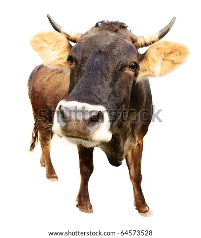 distorted brown cow isolated on white background - stock photo