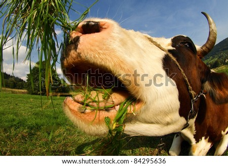distorted funny cow - stock photo