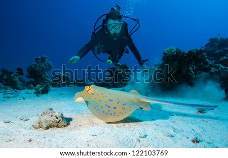 Diver and Bluespotted stingray - stock photo