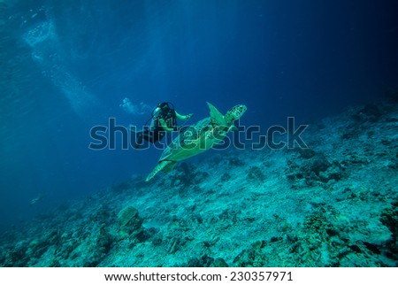 Diver and green sea turtle in Derawan, Kalimantan, Indonesia underwater photo. Chelonia mydas resting on the reefs and diver heading to sea turtle. - stock photo