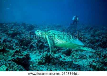 Diver and green sea turtle in Derawan, Kalimantan, Indonesia underwater photo. Chelonia mydas going to swim and diver leaving the sea turtle. - stock photo