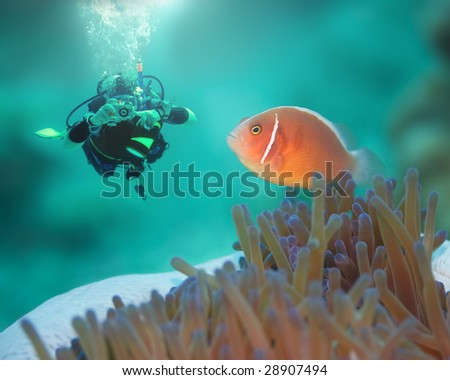 Diver and Pink clownfish close-up. Borneo island - stock photo