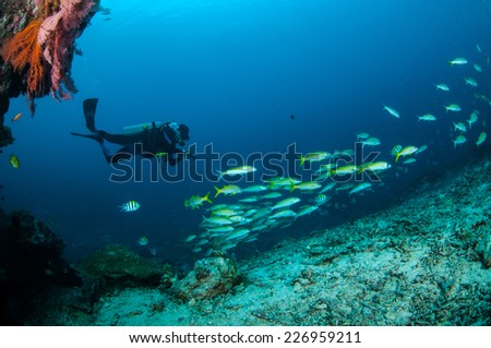 Diver and schooling narrowstripe fuslier are swimming in Gili, Lombok, Nusa Tenggara Barat, Indonesia underwater photo. Schooling narrowstripe fuslier Pterocaesio tessellata and there are damselfish
