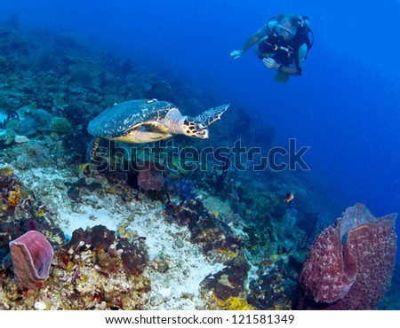 Diver and Turtle in a Caribbean Reef - stock photo