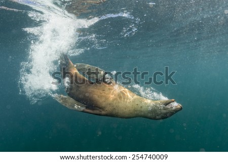 Diver approaching sea lion sea lion playing underwater  - stock photo