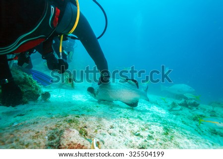 Diver, feeding big grouper with lobster, Cuba