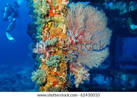 diver near the seafan - stock photo