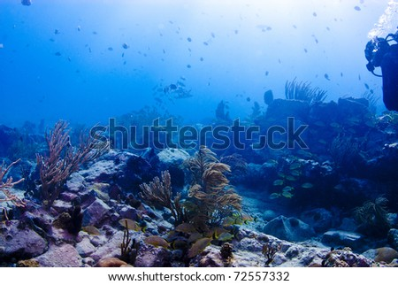 Diver observing Frency Grunts and Sargent Majors swimming  on Turtle reef off of St. Martin. - stock photo