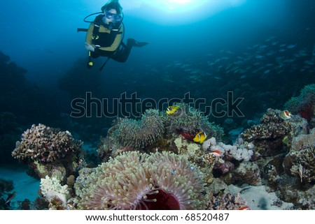 Diver over Anemones and Clownfish at Nemo City in the Red Sea, Egypt - stock photo