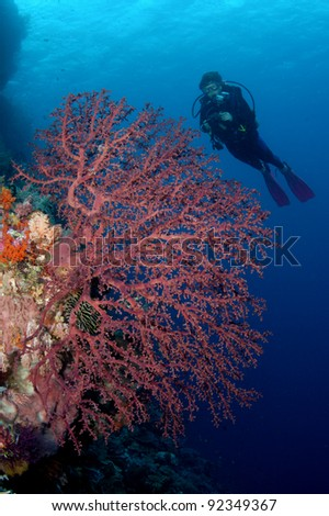 Diver over fan coral - stock photo