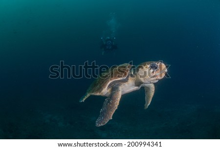 Diver photographing Hawksbill turtle underwater - stock photo
