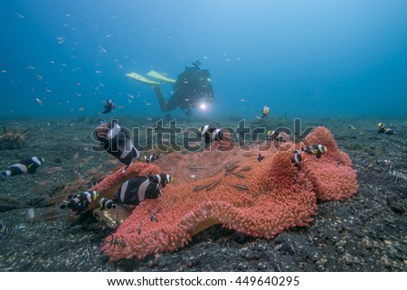 Diver shining light on anemone with nemo in Lembeh / Indonesia