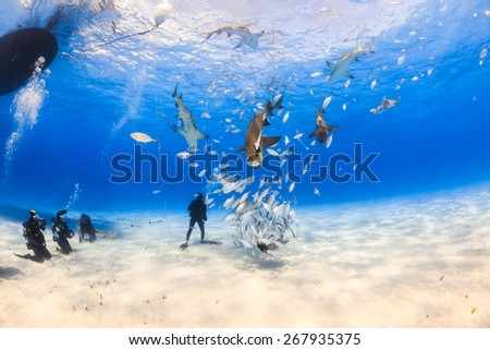 Diver surrounded by Lemon shark and caribbean reef shark on shallow clear water at Tiger beach, Bahamas