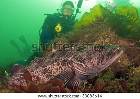 Diver with ling cod