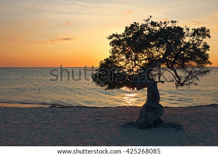 Divi divi tree on Aruba island in the Caribbean Sea at sunset - stock photo