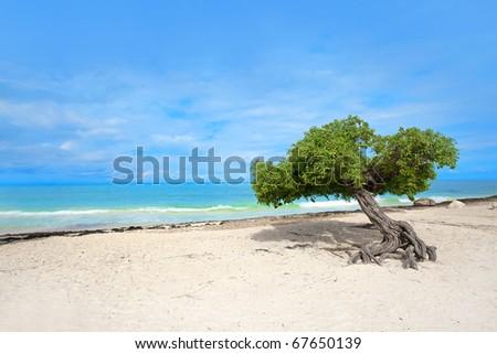 Divi divi tree on Eagle beach, Aruba , Caribbean - stock photo