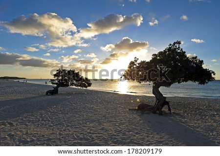 Dividivi trees on the beach from Aruba at sunset - stock photo