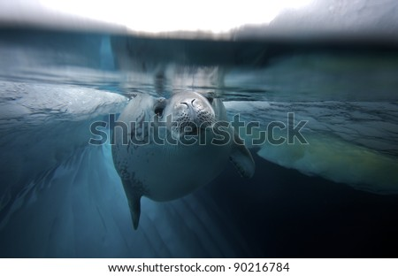diving crabeater seal (Lobodon carcinophagus) - stock photo