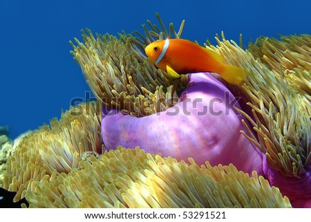 Diving in the Maldives. Clownfish - stock photo