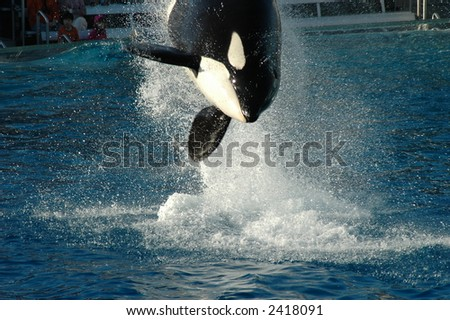 Diving Killer Whale in San Diego - stock photo
