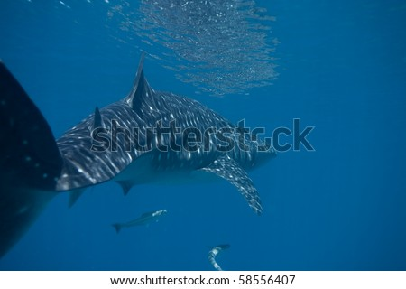 Diving with a whale shark - stock photo