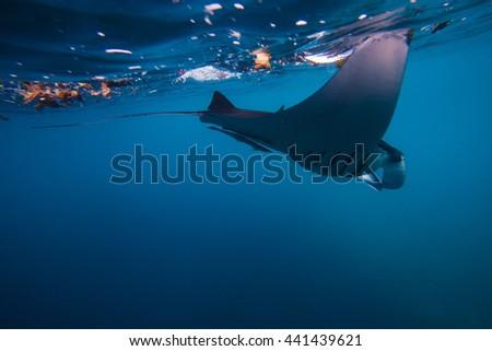 Diving with giant oceanic manta ray Batu Lumbung (Manta Point), Indonesia  - stock photo