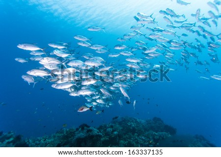 diving with group of jack fish - stock photo