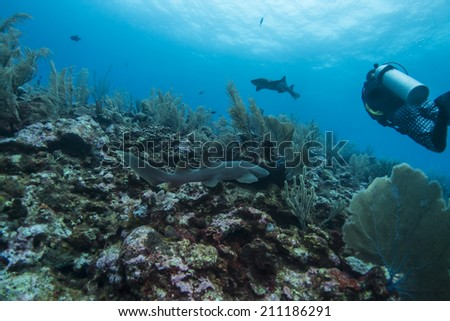Diving with nurse sharks - stock photo