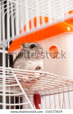 Djungarian hamster in a cage - stock photo