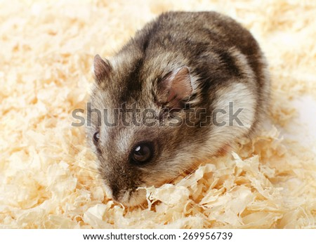 Djungarian hamster in sawdust on white background - stock photo