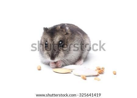 Djungarian hamster on white background - stock photo