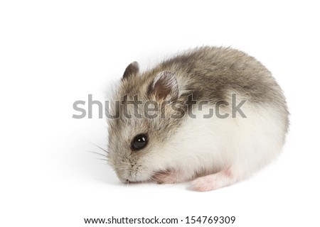 Djungarian Hamster (Phodopus sungorus) baby isolated on white - stock photo